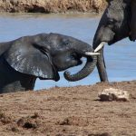 Elephant has complex consciousness and strong emotions