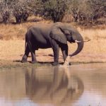 Elephants have strong emotions and complex consciousness