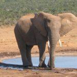 Male elephant often lives longer than female elephants