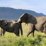 Across Africa an elephant has inspired respect from people that share the landscape giving it a strong cultural significance