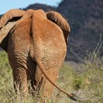Across Africa an elephant has inspired respect from people giving it a strong cultural significance