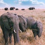 Elephant Family in Masai Mara, Kenya, Africa. Old Photo from 1995.