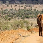 Elephants are icons of the continent
