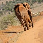 The elephants are icons of the continent