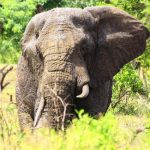 An elephant is an icon of the continent