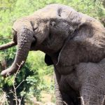 The elephants play an important role in maintaining the biodiversity