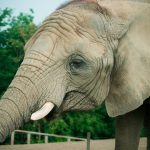 Elephant is an icon of the African continent
