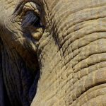 An elephant is a tourism magnet as it is the icon of the continent