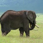 The male elephants end up dying of starvation