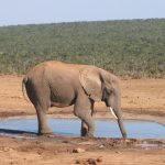 The male elephant ends up dying of starvation