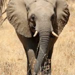 An older female is the matriarch in the elephant herd