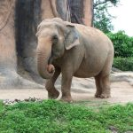 Older female that leads an elephant herd is called the matriarch