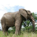 An elephant lives in family groups known as herds led by an older female who is the matriarch of the herd and uses her experience and old age to protect the herd