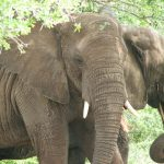 Elephant lives in family groups known as herds led by an older female who is the matriarch of the herd and uses her experience and old age to show it to food and water