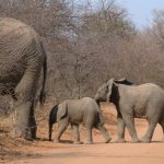An elephant lives in family groups known as herds led by an older female who is the matriarch of the herd and uses her experience and old age to show it to food and water and to protect the herd