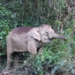 Male elephants remain with the herd until the age of 12-13