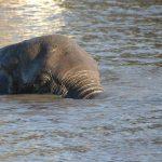 Kenyan elephant is extremely long-lived