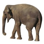 Kenyan elephants are long-lived, surviving to 60 to 70 years with male elephants often living longer than female