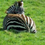 Zebras belong to animalia kingdom