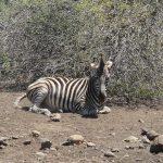 Zebra belongs to Mammalia class
