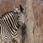 Donkey is a closest relative to zebra