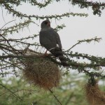 The gabar goshawk belongs to the Accipitridae family