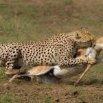 https://splendoursofafricatours.wordpress.com/tag/masai-mara-game-reserve/