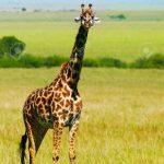 http://www.123rf.com/photo_10730637_big-wild-african-giraffe-walking-in-savanna-game-drive-wildlife-safari-animals-in-natural-habitat-be.html