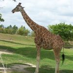 The back legs of the giraffe look shorter than the front legs