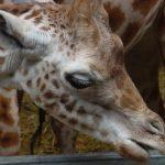The back legs of giraffe look shorter than the front legs