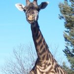The legs of giraffe are 6 feet but the back legs look shorter than the front legs