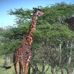 The legs of giraffes are 6 feet but the back legs look shorter than the front legs