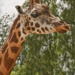 The legs of giraffes are 1.8 meters long