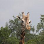 Giraffe's closest relative is the okapi