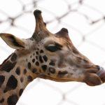 The giraffe's closest relative is the okapi