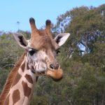 A giraffe's closest relative is the okapi