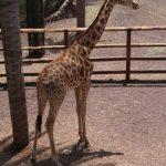 The giraffe has a small hump