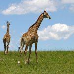 A giraffe has a small hump