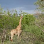 The giraffe has a small hump on its back