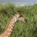 Giraffe has a small hump on its back