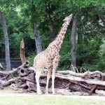 Giraffe coat colors vary from practically black to light tan and the differences occur due to what they eat and where they live