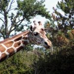 Giraffes' coat colors vary from practically black to light tan and the differences occur due to what they eat and where they live