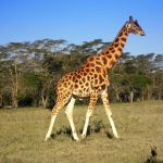 The giraffes' coat colors vary from practically black to light tan and the differences occur due to what they eat and where they live