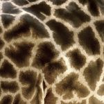 The giraffe's coat colors vary from practically black to light tan and the differences occur due to what it eats and where it lives