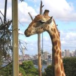 A giraffe's coat colors vary from practically black to light tan and the differences occur due to what it eats and where it lives