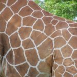 Giraffe's markings are as unique as our fingerprints