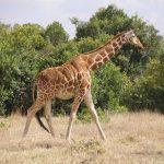 The Masai giraffe has markings that look like oak leaves