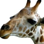 The Masai giraffes have markings that look like oak leaves and are as individual as our fingerprints