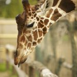 The Masai giraffe has markings that look like oak leaves and are is as individual as our fingerprints