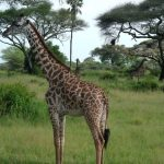 The reticulated giraffe is found only in northern Kenya